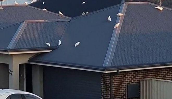 Daily Mail: Moment bizar în Australia. Mii de păsări iau cu asalt o suburbie - 423166409520273imagem20161960186-1619684471.jpg