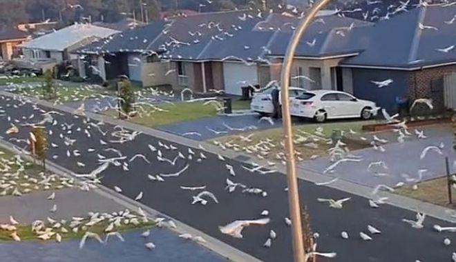 Daily Mail: Moment bizar în Australia. Mii de păsări iau cu asalt o suburbie - 423166429520273imagem18161960184-1619684386.jpg