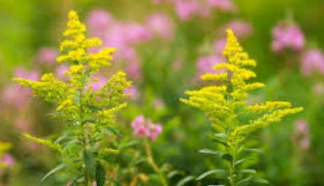 Ambrozia, din ce în ce mai agresivă: Peste 480.000 de români sunt alergici la această plantă - ambroyie-1631539621.jpg