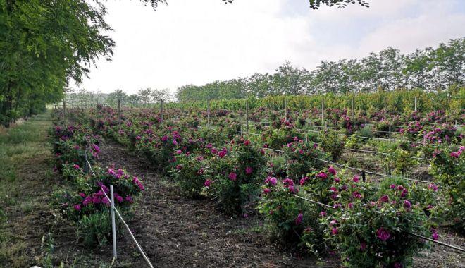 O afacere mai puţin întâlnită. Petalele de trandafiri nu vă îmbogăţesc, dar vă parfumează viaţa - fond4-1623085124.jpg