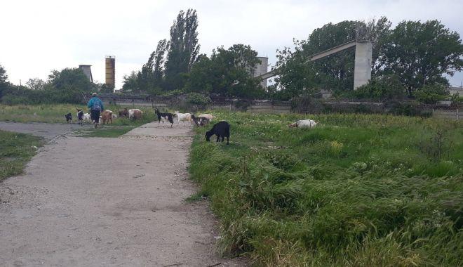 """Salvați zona """"Energia""""! A devenit raiul buruienilor și locul de păscut al caprelor - fondcapre4-1622385940.jpg"""