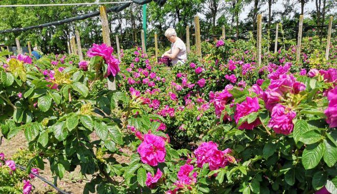 O afacere mai puţin întâlnită. Petalele de trandafiri nu vă îmbogăţesc, dar vă parfumează viaţa - jos2-1623085419.jpg
