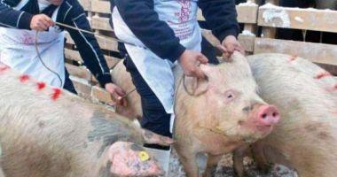 Focar de pestă porcină africană în comuna Corni